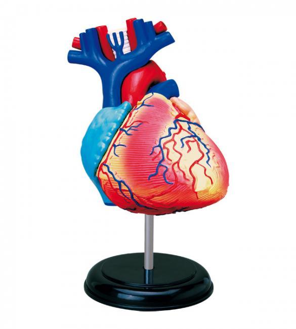 Объемная анатомическая модель Сердце человека