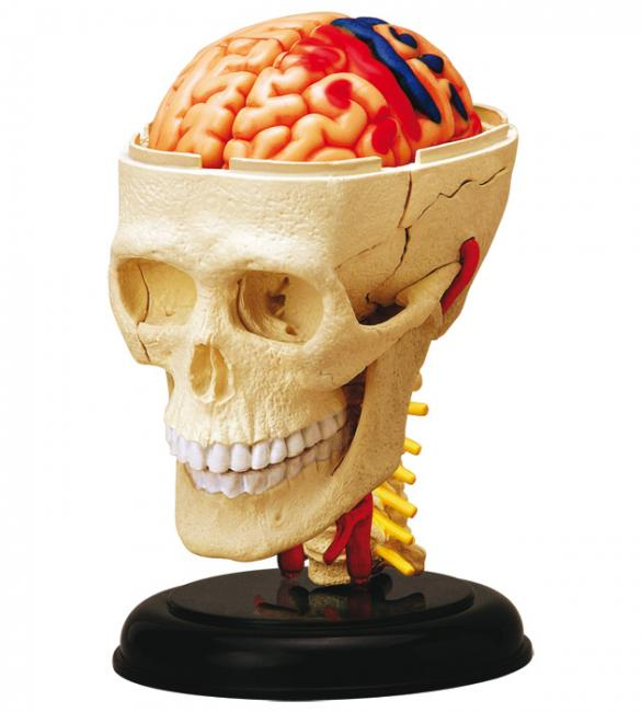 Объемная анатомическая модель Черепно-мозговая коробка человека