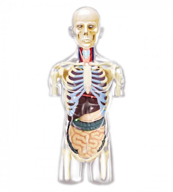 Объемная анатомическая модель Торс человека прозрачный