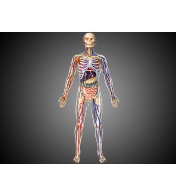 Объемная анатомическая модель Тело человека прозрачное