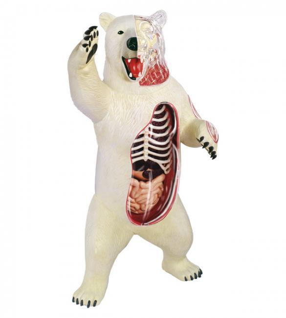 Объемная анатомическая модель Белый медведь
