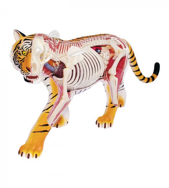 Объемная анатомическая модель Тигр