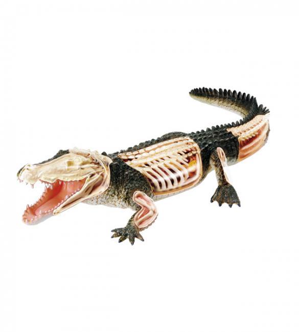 Объемная анатомическая модель Крокодил