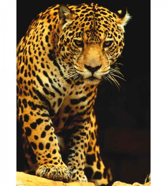 Пазлы Леопард 1000