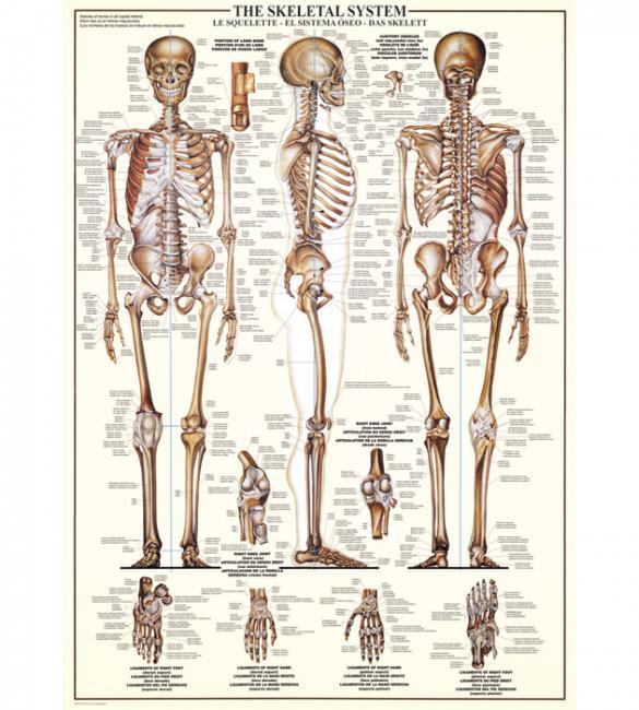 Пазлы Скелет человека 1000
