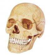 Объемная анатомическая модель Череп человека