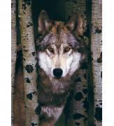 Пазлы Волк 1000