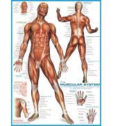 Пазлы Мышцы человека 1000