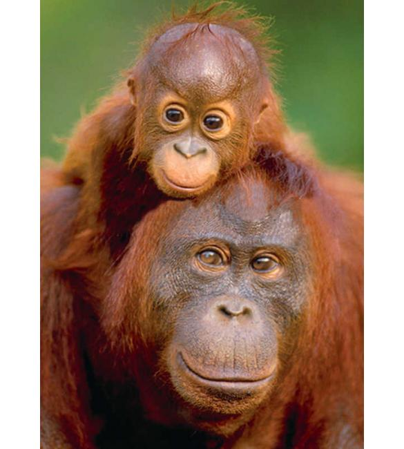 Пазлы Орангутанг с детенышем 100